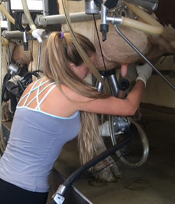 Cows need to be milked twice a day