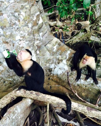 A white-faced monkey finishes off a juice box stolen from student Evan Hoyle