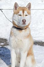 A Siberian husky waits to meet Endeavor Elementary School students