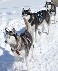 A team of huskies waits outside school