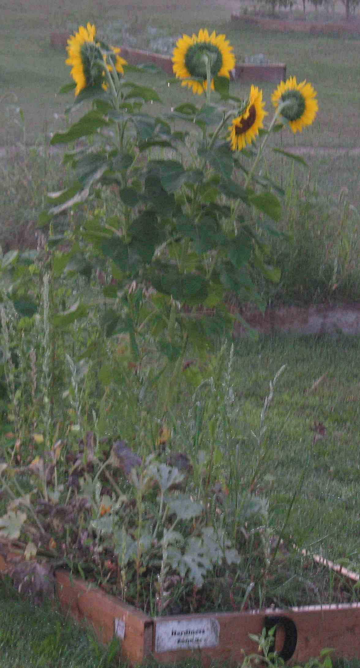 Sunflowers bloom in the center of the Kelloggsville Community Garden